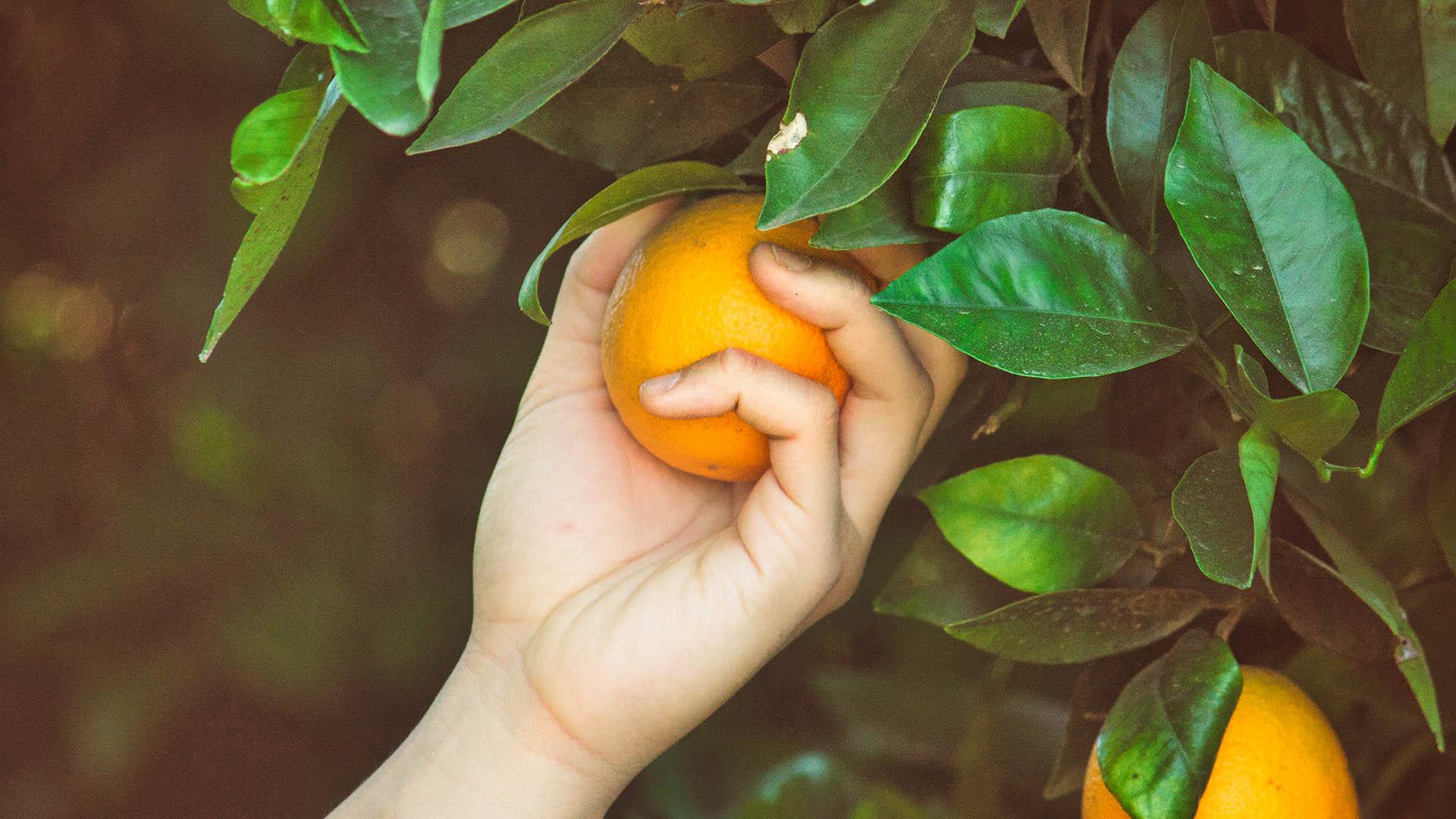 la cueillette orange
